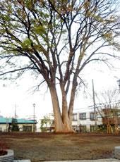 トトロの樹、『坂の上のけやき公園』に